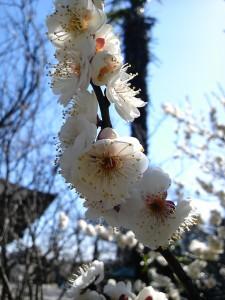 梅の花 甘美だ