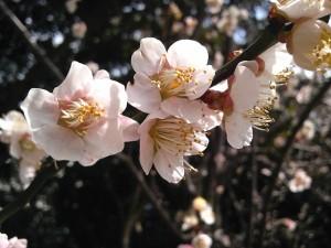 千葉大医学部構内の桜 早いっすねぇー