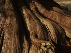 大杉の根っこ