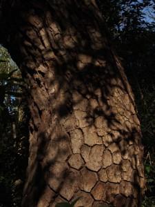 蛇の鱗のような木