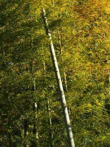 竹のグラデーション