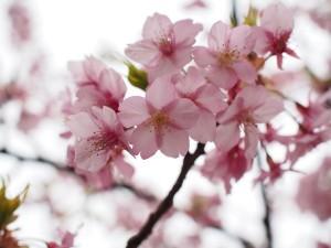 早咲きサクラ2016.2.29