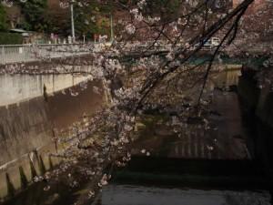 神田川 桜