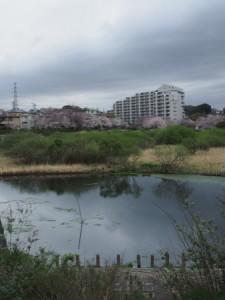 長津川公園の桜2016.4.4