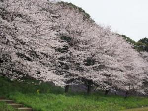 満開の長津川公園2016.4.4