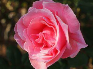 ピンクのバラ 綺麗