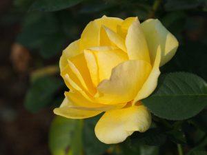 黄色いバラも綺麗