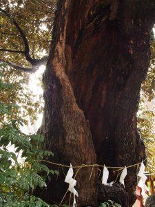 境内の老木