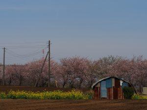 いいですねぇ~畑、菜の花、桜