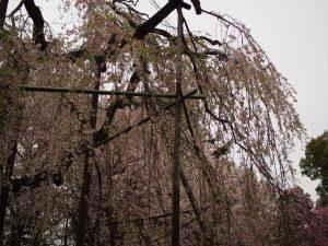 枝垂れ桜がうまく表現できましぇん(笑)
