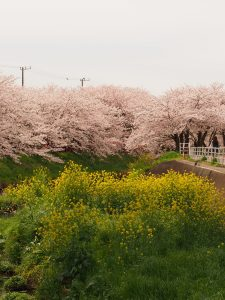 菜の花と桜のピーーーク!!!