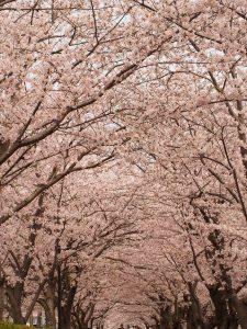桜ピーク 2017.4.10