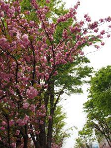 中杉通り 八重桜