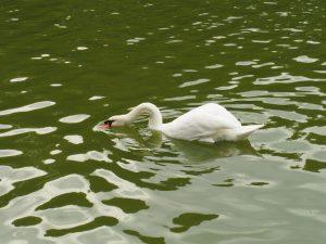首まげすぎやろぉ 白鳥