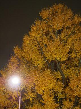 黄色いイチョウが綺麗!!