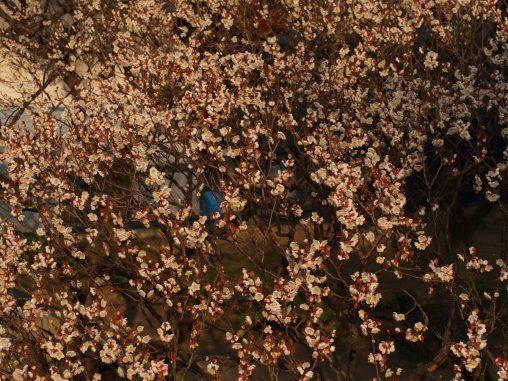 梅が真っ盛り