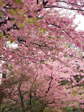 駐車場の早咲き桜