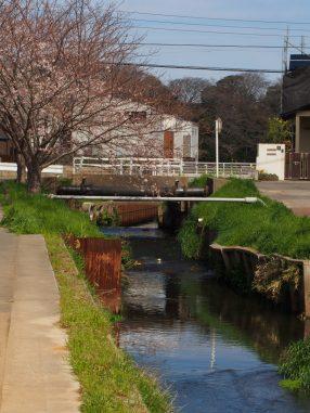 海老川の桜2019.4.1