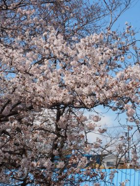 やっぱり桜は綺麗