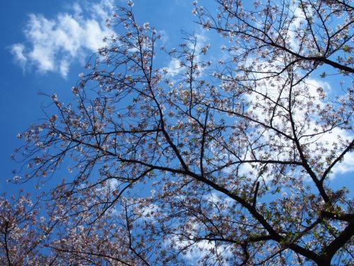 葉桜になりつつ桜