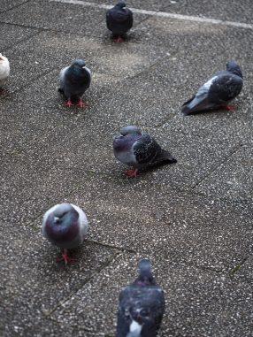鳩が散らばる