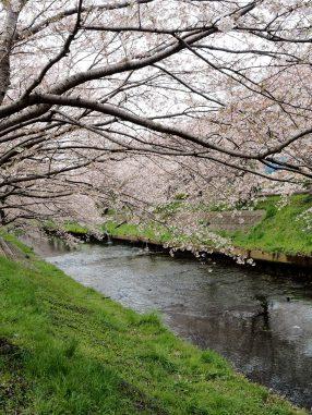 海老川桜2020.3.30