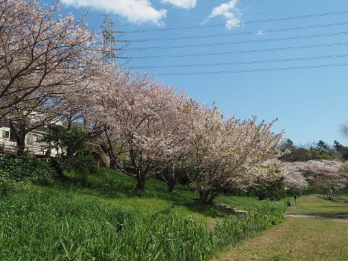 長津川の桜
