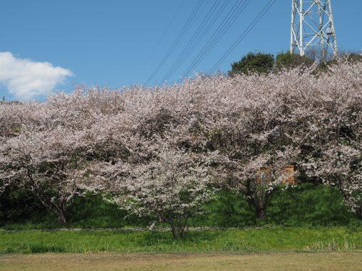 長津川の桜2020.4.6