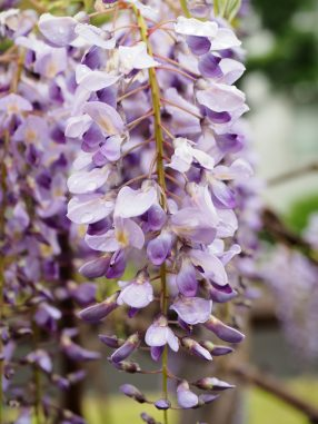 団地の藤の花