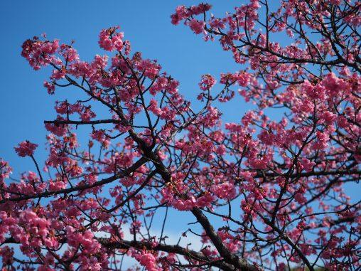 海老川 早咲きの桜