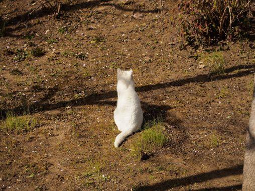 運動公園の白い猫