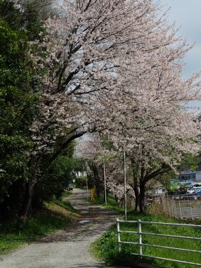 夏見緑地の桜