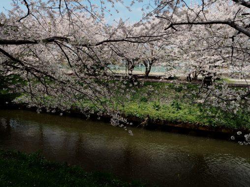 海老川と桜