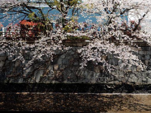 船橋市場そばの桜