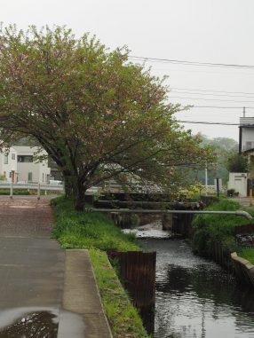 海老川2021.4.5