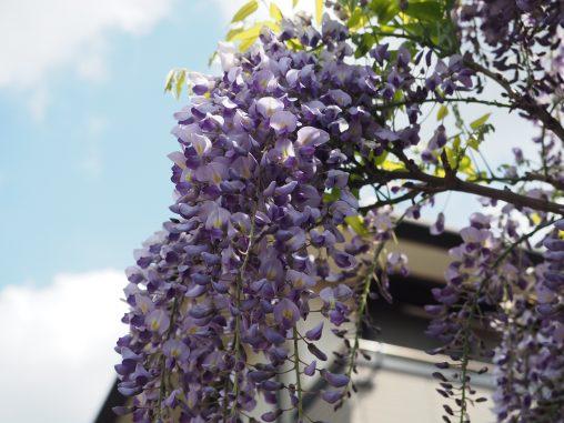 藤の花2021.4.12