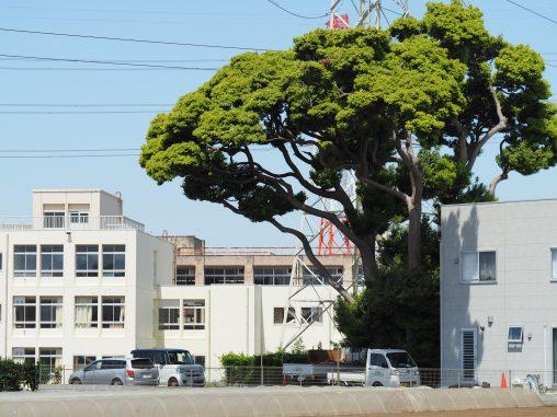 すき家そばの大木